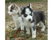 Black - White Siberian Husky Puppies For Sale