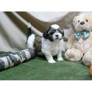 Baby face Shih Tzu puppies available for pet loving homes