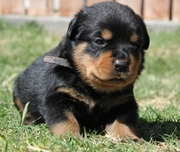 OFA Certified for Heart Rottweiler Puppies for Sale