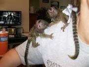 HUR23 Adorable Twin Pygmy Marmoset and Capuchin 07031957695