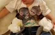 MXIWE Pairs Capuchin pygmy marmoset available 07031956739