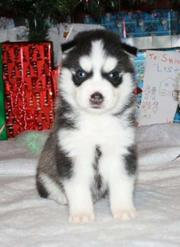 Black and white blue eyes siberian husky male puppies for sale